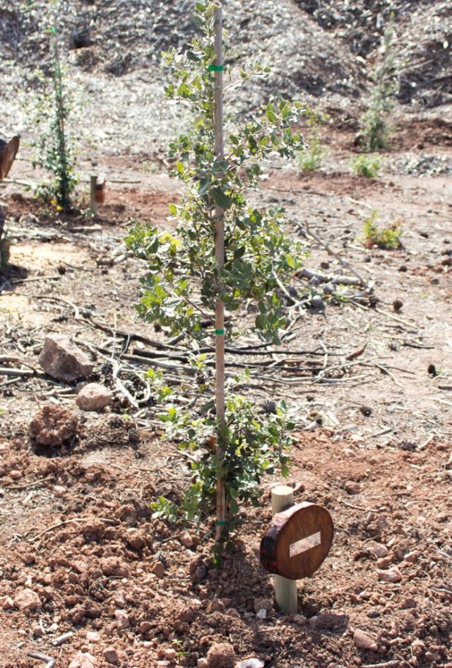 mi arbolito plantado en Mallorca